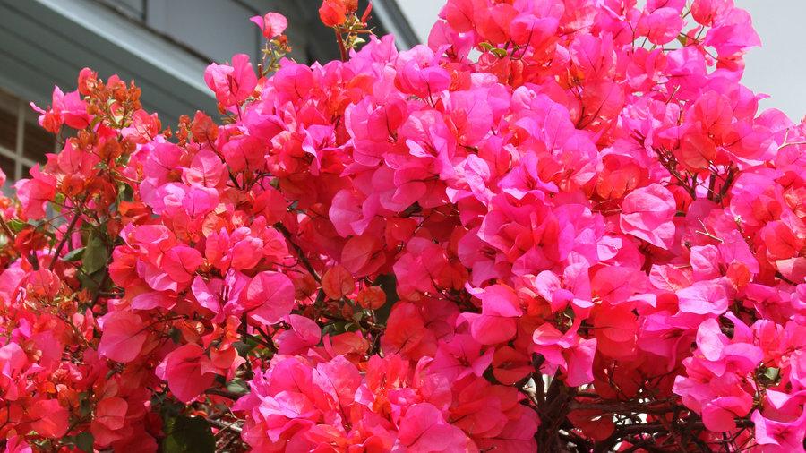 10 Lush Bougainvillea Varieties Sunset Magazine Sunset