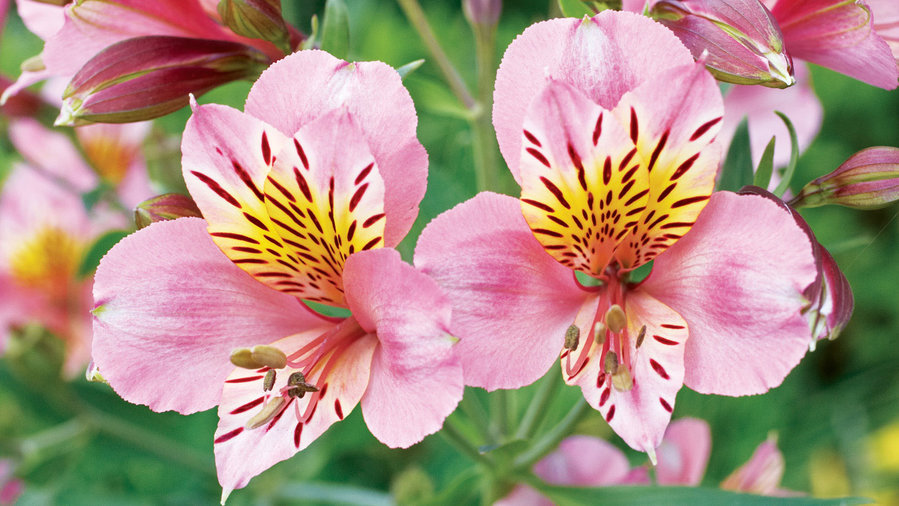 15 Favorite Perennial Flowers - Sunset Magazine - Sunset ... - photo #46